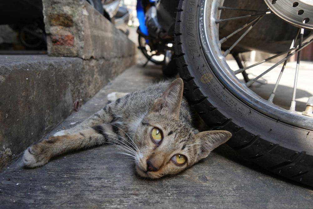 thai_cat_001
